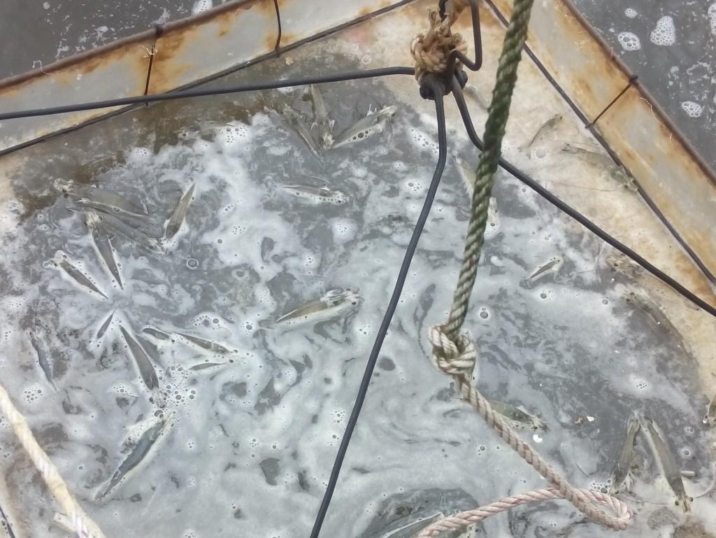 Mekong_Delta_Fisheries_Fish_Caught_Photo_By_Lisa_Van_Wageningen